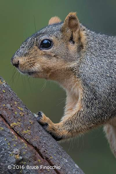 Red Tree Squirrel Leans Against Tree Trunk 222