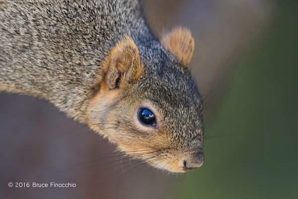 Red Tree Squirrel Peers Downward 222