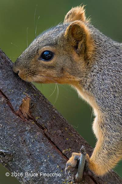 Red Tree Squirrel Touching With Its Mouth A Big Branch's Bark 222