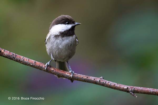 Side Profile Of A Chestnut-backed Chickadee 222