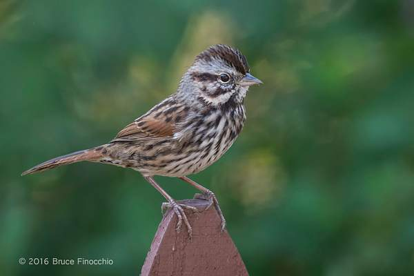 Song Sparrow Perches On A Fence Picket 222