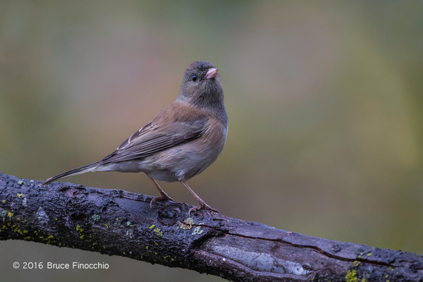 Young Dark-eyed Junco Survey's Its Surroundings by BruceFinocchio
