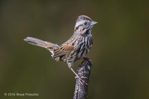 A Fidgeting Song Sparrow Lites On A Branch 222