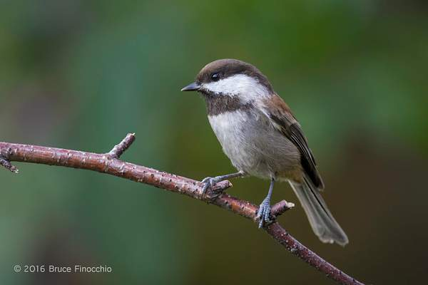 A Moment In The Life Of A Chestnut-backed Chickadee 222