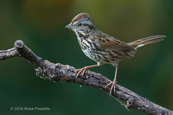 An Alert Song Sparrow On Perch 222