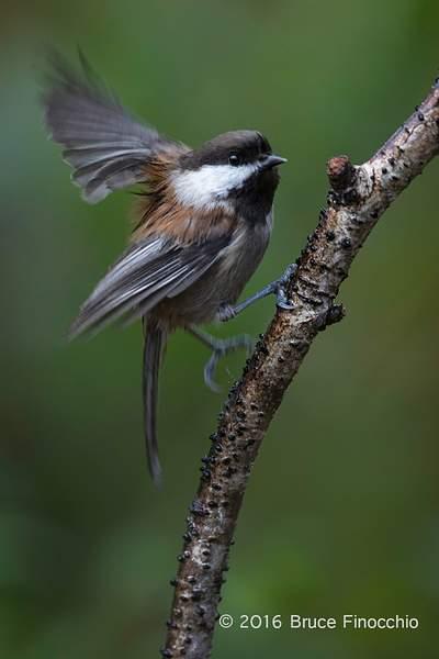 Chestnut-backed Chickadee Flutters Wings On Perch 222