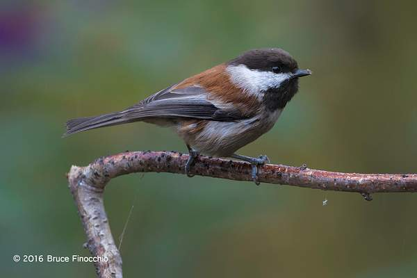 Chestnut-backed Chickadee Ready For Action 222