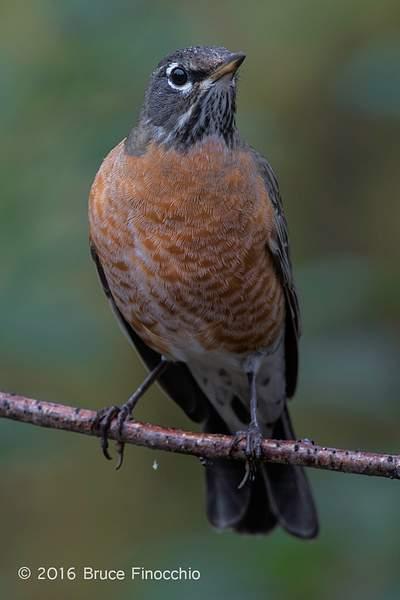 Female Robin In The Rain 222