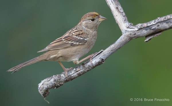 Golden-crowned Sparrow On The Lower Perch 222