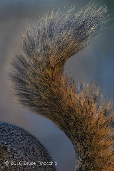 The Bushy Tail Of A Fox Squirrel