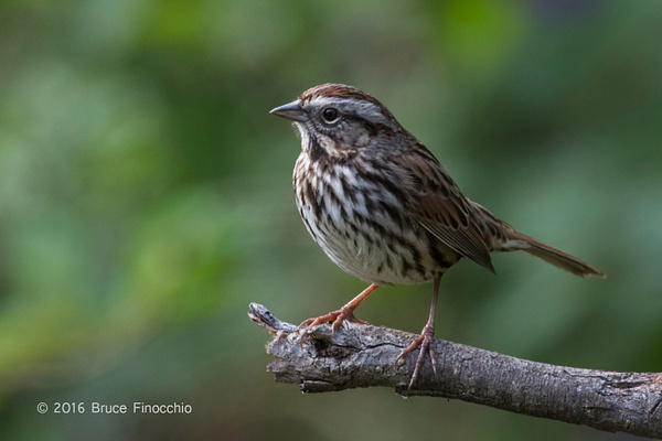 Song Sparrow Lit On A Broken Branch by BruceFinocchio