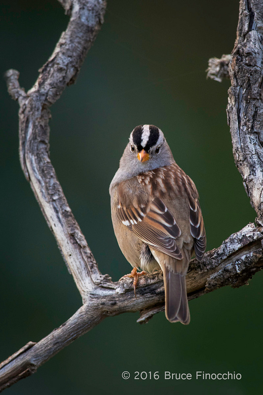 White-crowned Sparrow Looking Back Framed Between Old Gray Branches