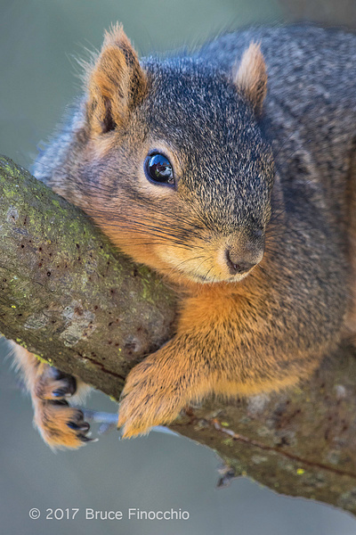 While Resting A Fox Squirrel Grips A Tree Branch by BruceFinocchio