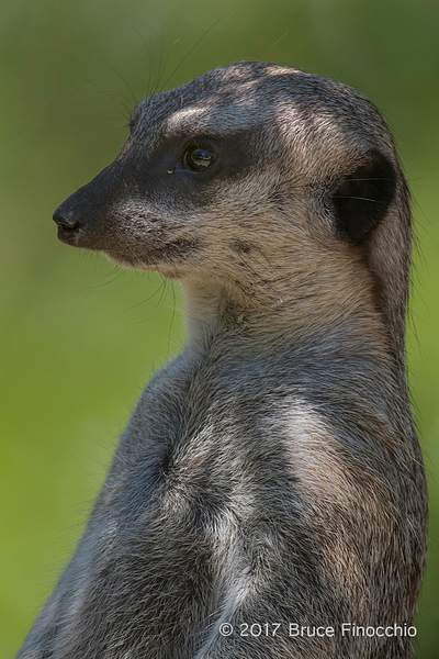 Relax Yet Alert Slender-Tailed Meerkat