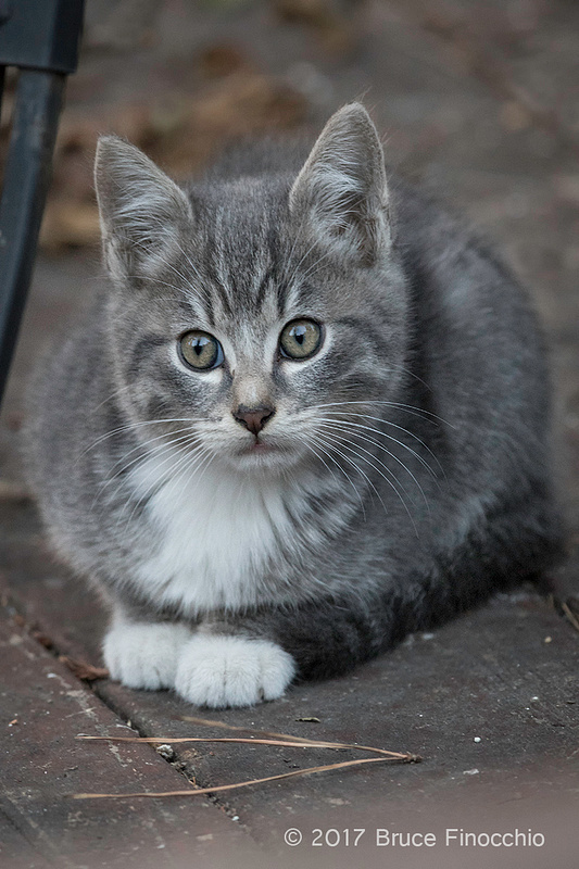 Charcoal Kitten Crouches Down Under A Table Leg