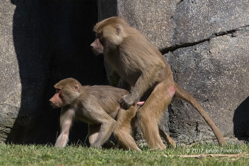 A Sub-Adult Male Hamadryas Baboon Sneaks In Some Mating