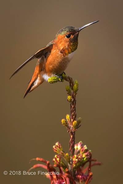 A Male Allen's Hummiingbird Prepares To Take Flight With Wings Back BI58152D7IIc