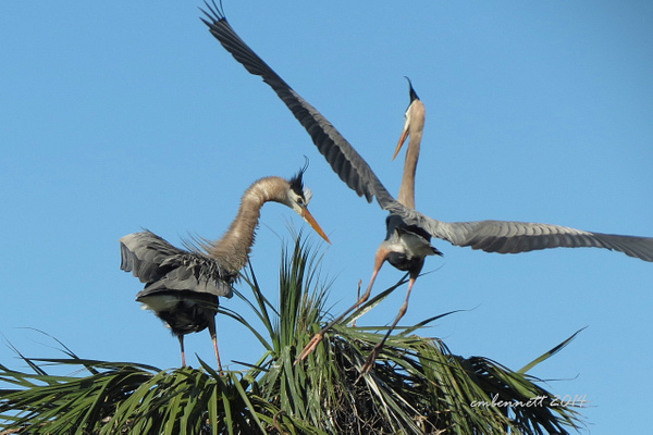 Herons Courting Feb '14 by CherylsShots by CherylsShots