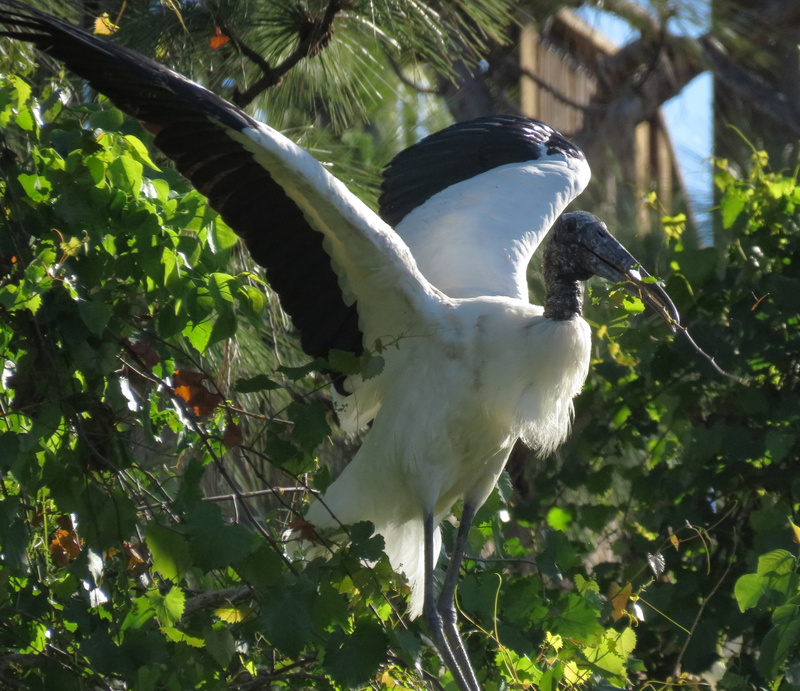 Woodstork with nest material