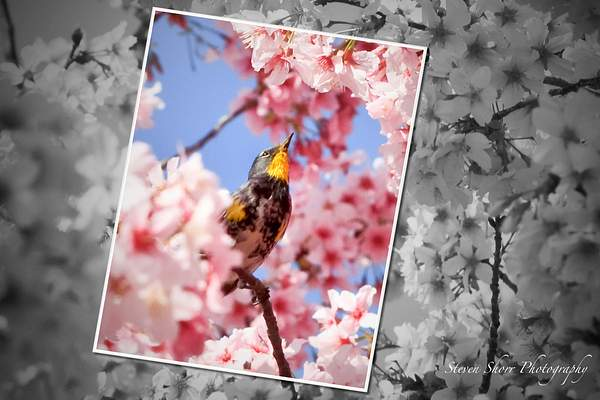 Bird_and_the_Blossoms 222