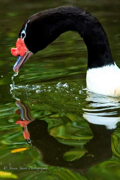 Black_Neck_Swan 222