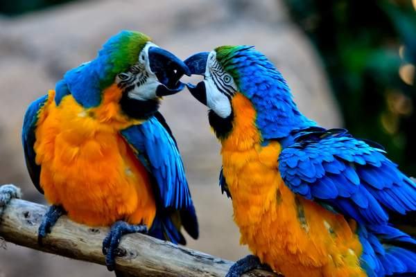 Blue_and_Gold_Macaw 222