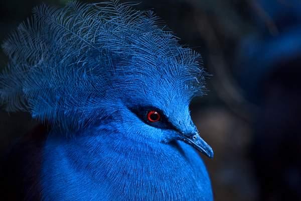 Blue_Crowned_Pigeon 222