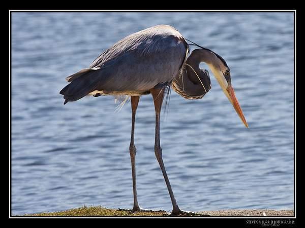 Blue_Heron 222