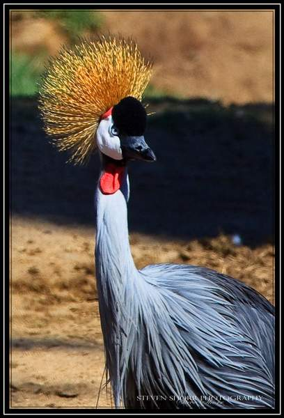 East_African_Crowned_Crane_2 222
