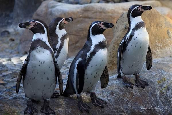 Humbolt_Penguin 222