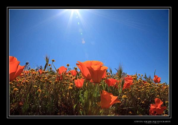 California Poppies by Steven Shorr