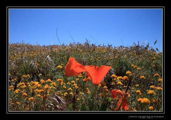 California_Poppies-2 222