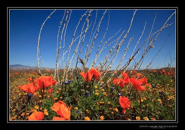 California_Poppies-3 222