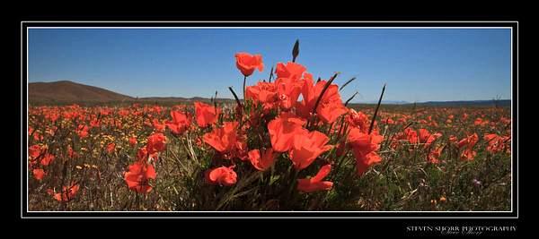 California_Poppies-4 222