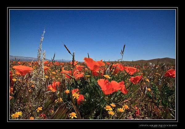 California_Poppies-5 222