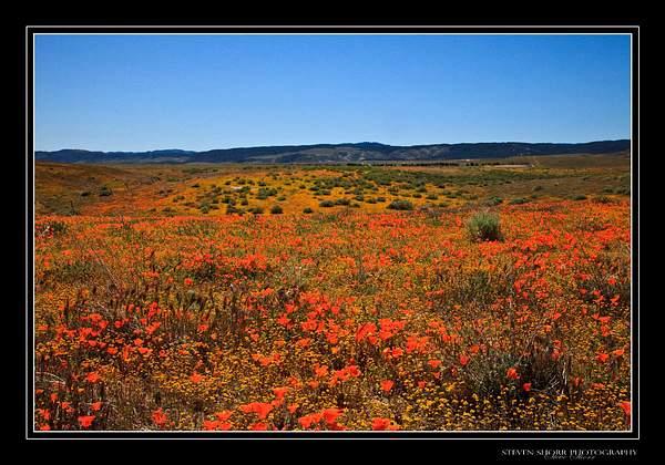 California_Poppies-6 222