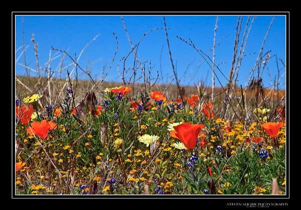 California_Poppies-7 222