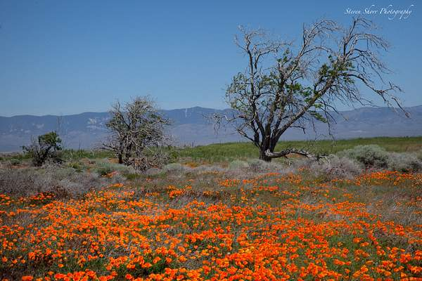 California_Poppies-10 222