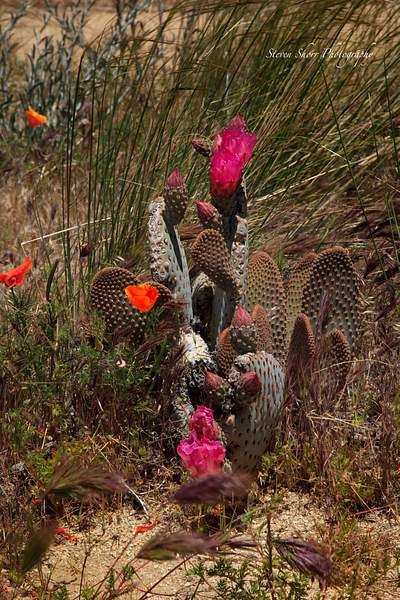 California_Poppies-12 222
