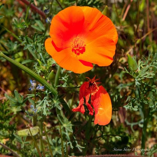 California_Poppies-13 222