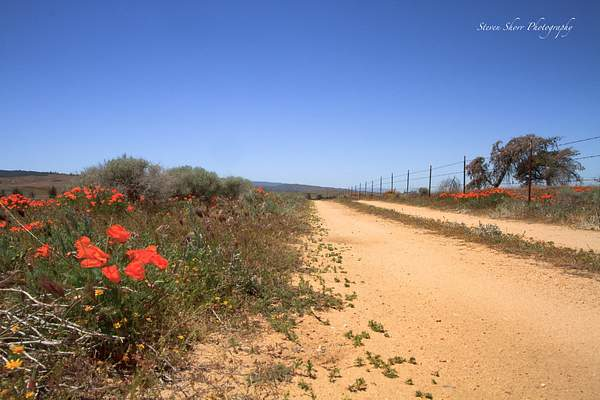 California_Poppies-14 222