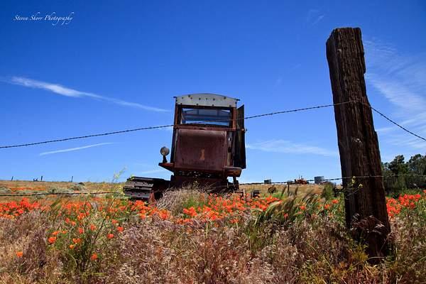 California_Poppies-15 222