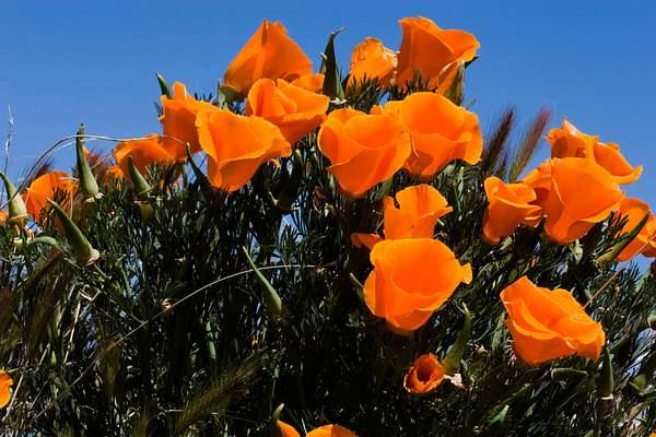 Poppies 222