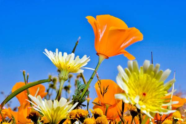 Poppy_Wildflower_103 222