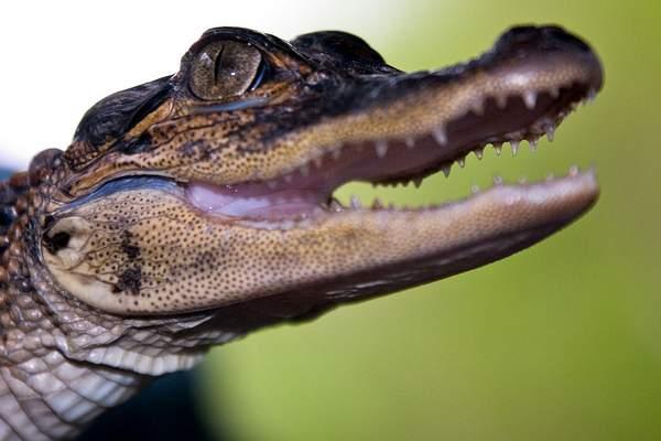 Baby Gator 222