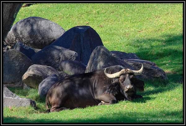 Cape Buffalo 222