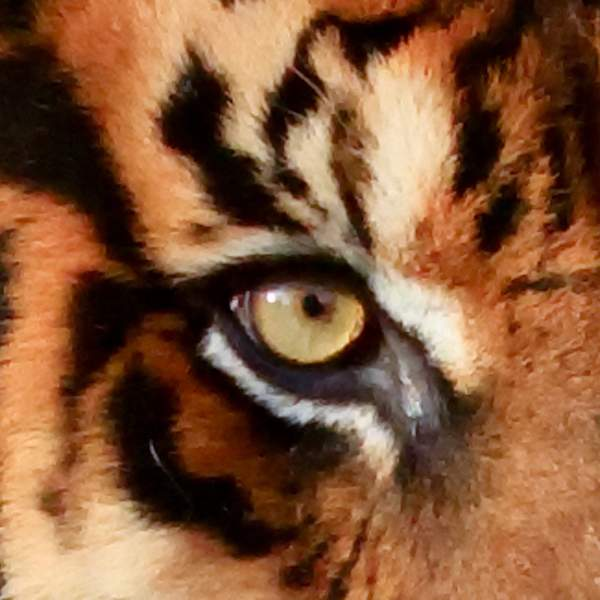 Eye of the Tiger 222