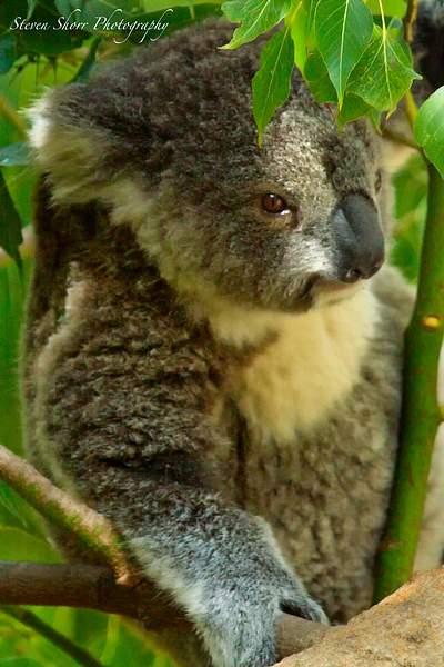 koala 222