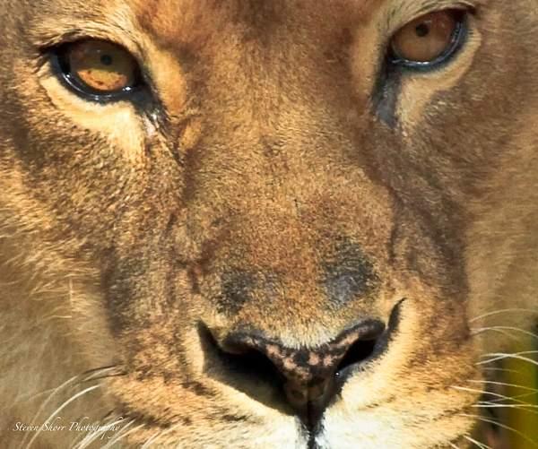 Lion 222