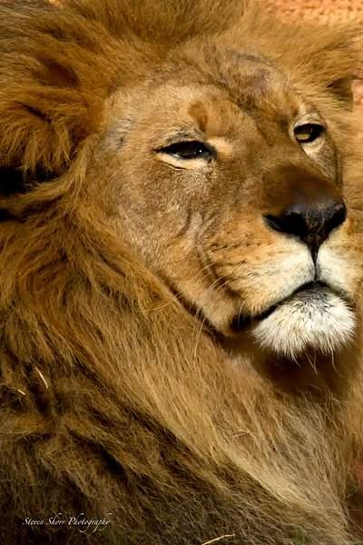 Proud Lion 222